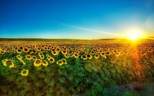 ws_Sharp_Sunshine_Sunflower_Field_1920x1200